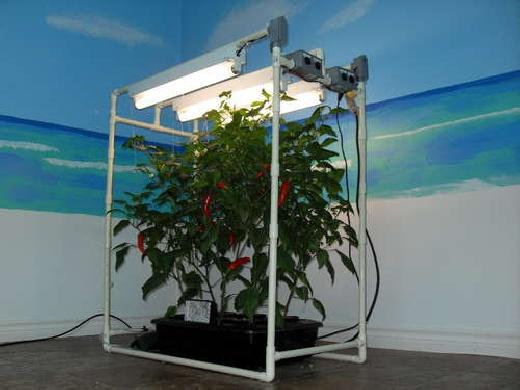 Sistema hidroponico casero para cultivar... pimientos